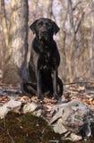 svart sitting för labrador retriever Arkivbilder