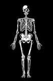 svart skelett- white Arkivfoto