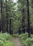 svart skog Arkivbilder