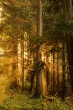svart skog Royaltyfri Fotografi