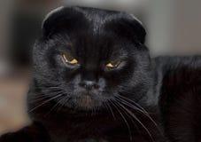 Svart skotsk slokörad katt Royaltyfri Fotografi