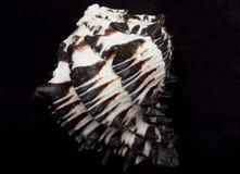 svart snäckskalwhite Royaltyfri Bild