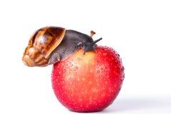 Svart snigel på det röda äpplet royaltyfri bild