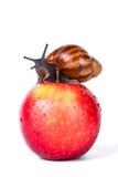 Svart snigel på det röda äpplet arkivfoton