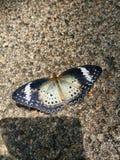 Svart solbränd och vit fjäril arkivfoton
