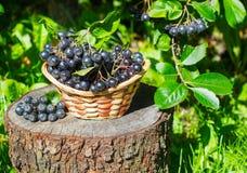 Svart som är ashberry i en korg i trädgården Royaltyfri Foto