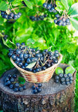 Svart som är ashberry i en korg i trädgården Arkivfoto