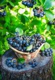 Svart som är ashberry i en korg i trädgården Arkivbilder