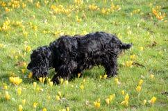 Svart spanielhund Royaltyfria Bilder