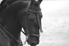Svart spansk häst Spanien Madrid för fullblod Arkivfoto