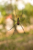 Svart spindel Arkivfoton