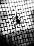 svart spindel Fotografering för Bildbyråer