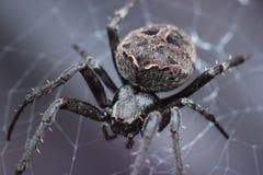 svart spindel Arkivbilder