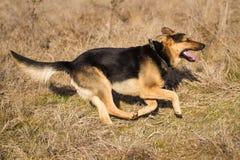 Svart spring för hund för tysk herde på fält Royaltyfri Fotografi