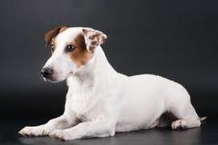 svart stålarrussell terrier Royaltyfri Fotografi