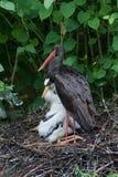 svart stork Royaltyfria Foton