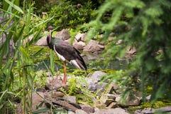 Svart stork Arkivfoton