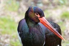 svart stork Royaltyfri Foto