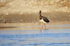 svart stork Royaltyfria Bilder