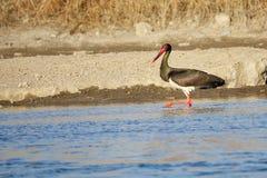 svart stork Fotografering för Bildbyråer