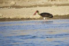 svart stork Royaltyfri Bild