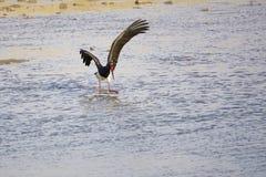 svart stork Arkivfoto