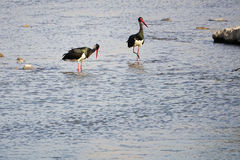 svart stork Royaltyfri Fotografi