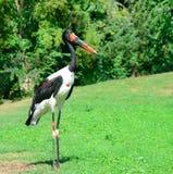 Svart stork i parkera Royaltyfria Bilder