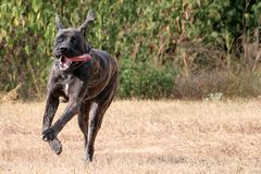 Svart strimmig mastiff som fritt kör Arkivfoto