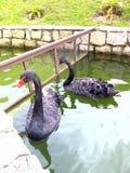Svart svan i en grön sjö Royaltyfri Fotografi