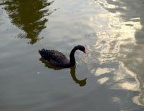 Svart svan i ett damm Arkivfoton