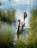 Svart svan i sjön Arkivbild