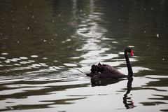 Svart svan i vattnet fotografering för bildbyråer