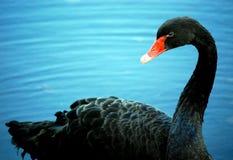 Svart svan med den orange näbb royaltyfri foto