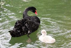 Svart svan med fågelungar Arkivbilder