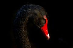 Svart svan med vattenpärlor Royaltyfri Fotografi