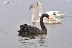 Svart svan och två unga svanar bakom Fotografering för Bildbyråer