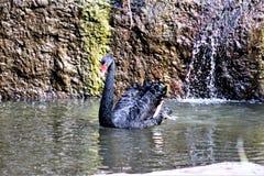 Svart svan på den Phoenix zoo i Phoenix, Arizona i Förenta staterna royaltyfri fotografi