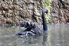 Svart svan på den Phoenix zoo i Phoenix, Arizona i Förenta staterna royaltyfria foton