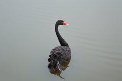 Svart svan på ett damm Arkivfoto