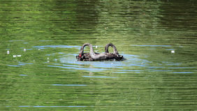 Svart svan på sjön Royaltyfria Foton