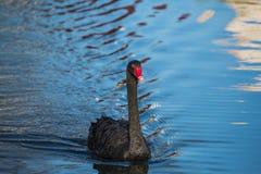 Svart svan på sjön eller i dammet Blå himmel reflekterad i vattnet royaltyfri bild
