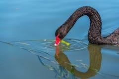 Svart svan som äter det gröna ogräset Arkivbild
