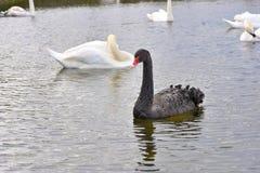 Svart svan som ser kanalen Royaltyfria Bilder