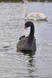 Svart svan som ser kanalen till kameran Royaltyfri Foto
