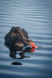 Svart svan som svävar på floden Arkivbild