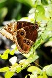 Svart Swallowtail fjäril royaltyfri foto