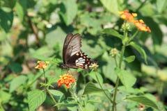Svart Swallowtail fjäril på blomman royaltyfri fotografi