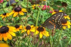 Svart Swallowtail fjäril på Rudbeckia royaltyfri fotografi