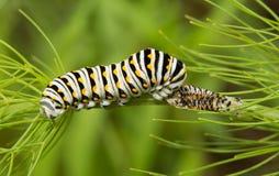 Svart Swallowtail fjärilslarv arkivbilder